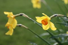 Daffodil - δευτερεύουσα γωνία στοκ φωτογραφία