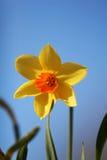 daffodil ενιαίος Στοκ Εικόνες