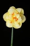 daffodil κίτρινος Στοκ Φωτογραφία