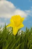daffodil λουλούδι Στοκ φωτογραφίες με δικαίωμα ελεύθερης χρήσης