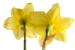 daffodil λουλούδι στοκ εικόνα με δικαίωμα ελεύθερης χρήσης