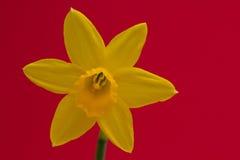 Daffodil που απομονώνεται Στοκ Εικόνες