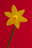 Daffodil που απομονώνεται Στοκ εικόνες με δικαίωμα ελεύθερης χρήσης