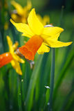 Daffodil στο πίσω φως Στοκ Εικόνα