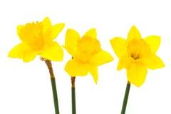 Daffodil τρία στοκ φωτογραφίες