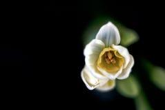 Daffodil белых/желтого цвета Стоковая Фотография