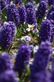 Daffodil гиацинта и narcissus Поле красочной весны цветет гиацинт на солнечном свете желтый цвет картины сердца цветков падения б Стоковое фото RF