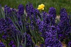 Daffodil гиацинта и narcissus Поле красочной весны цветет гиацинт на солнечном свете желтый цвет картины сердца цветков падения б Стоковая Фотография RF