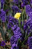 Daffodil гиацинта и narcissus Поле красочной весны цветет гиацинт на солнечном свете желтый цвет картины сердца цветков падения б Стоковая Фотография
