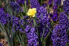 Daffodil гиацинта и narcissus Поле красочной весны цветет гиацинт на солнечном свете желтый цвет картины сердца цветков падения б Стоковое Изображение