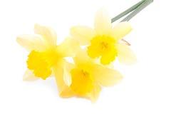 Daffodil изолированный на белизне Стоковые Изображения