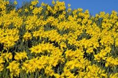 daffodil ковра Стоковые Изображения RF