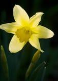 daffodil одиночный Стоковое Изображение RF