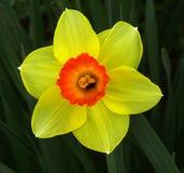 daffodil просвечивающий Стоковое Фото