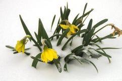 Daffodil снега Стоковые Фото