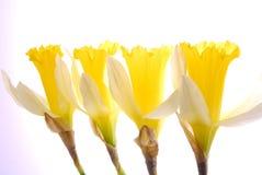 daffodil цветений Стоковое Изображение RF
