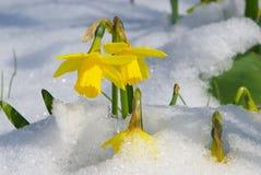 Daffodil 03 stock image