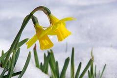 Daffodil 07 Obrazy Stock