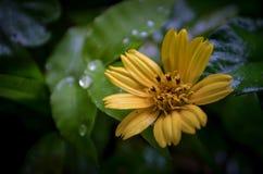 Daffodil fotografia de stock royalty free