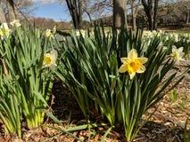 Daffodil fotografia stock libera da diritti