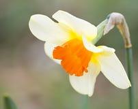 daffodil Zdjęcia Stock