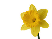 Daffodil. Isolated on white background with room for copy royalty free stock images