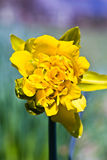 Daffodil. Lovely yellow daffodil popping open with a colorful blurred natural background. Daffodils are perennial bulb or rhizome flowers within the family of royalty free stock photography