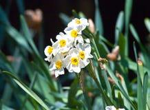 daffodil Zdjęcie Royalty Free