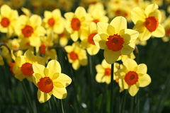 Daffodils in back light Royalty Free Stock Photography