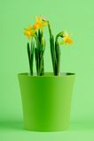 Daffodil Foto de Stock Royalty Free