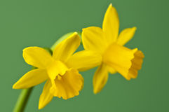 Daffodil. Closeup of a blooming daffodil royalty free stock photos