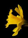 daffodil Стоковое Фото