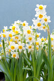 Daffodil. Beautiful flowers in sunlight,chinese daffodil Stock Photo