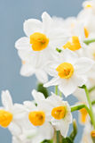 Daffodil. Beautiful flowers in the sunlight, chinese daffodil Stock Photo