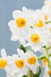 Daffodil Fotografia Stock