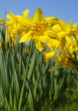 Daffodil. Flowers as Spring arrives, these s had only just opened royalty free stock image