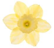 daffodil Obrazy Royalty Free
