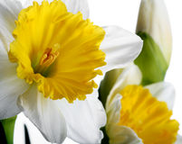 Daffodil. S isolated on white, narrow focus Stock Image
