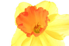 Daffodil Stock Photos