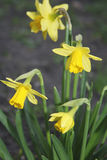 Daffodil. Growing in Spa Green Garden, Rosebery Avenue, London, England, UK narcissus stock images