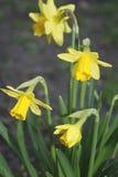 Daffodil Imagens de Stock