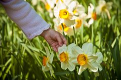 Daffodil. A child's hand caresses the delicate flower narcissus Stock Photography