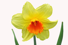 Daffodil. Isolated daffogil in white background Royalty Free Stock Photos