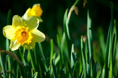 Daffodil. A high contrast image of a spring daffodil stock photo