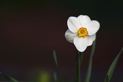 Daffodil Zdjęcie Stock