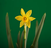 Daffodil. Yellow daffodil flower close-up against green background Stock Image