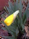 Daffodil Fotos de Stock
