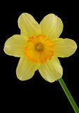 Daffodil. Isolated on a black background royalty free stock photo