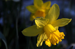 Daffodil. Spring yellow daffodils in the mountains Royalty Free Stock Photo
