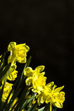 daffodil Стоковые Фото